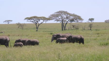 akacja : Large Herd Of Wild Elephants With Baby Walking On Grassland In African Savannah