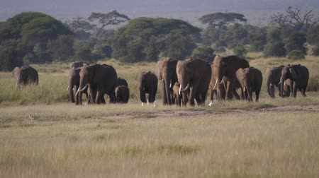 akacja : A Herd Of Wild African Elephants Walking On A Hot Plain In The Savannah