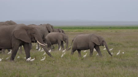 amboseli : Big Herd Of Wild Elephants With Baby Eating Grass In Plain Of African Savannah