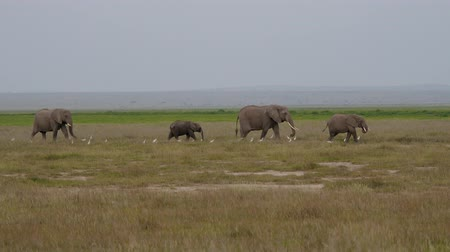 amboseli : Family Of Wild African Elephants Walking To Each Other Across Plain In Savannah