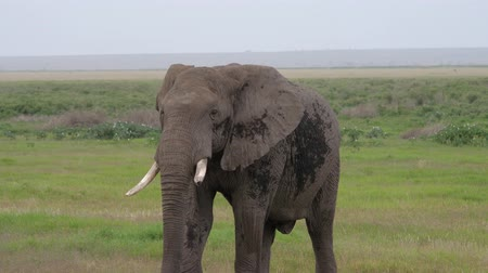 câmara : Close Up Of One Adult Wild African Elephant Walking Across The Savannah Plain Stock Footage