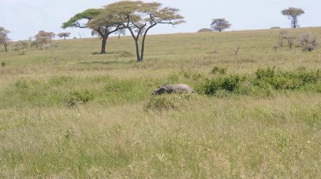 akacja : Lonely Little Elephant Has Strayed From Flock Or Lost In Wild African Savannah