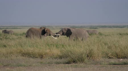 mating season : Wild Adult Male Elephants Fight Over A Female During Breeding Season In African
