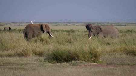 толстокожее животное : Adult Bull Elephants Before Fight Evaluate And Intimidate Each Other In Africa