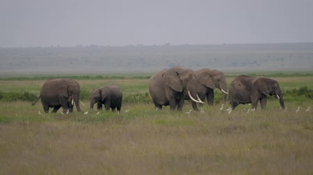 amboseli : Family Of African Elephants With Baby Grazing Grass In A Pasture In The Savannah Stock Footage