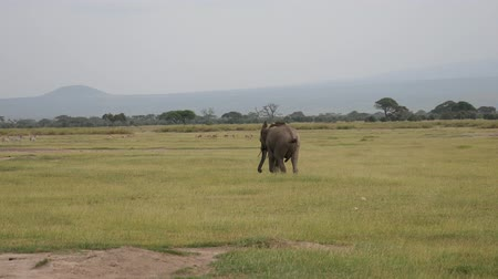 mating season : Distraught Male Bull Elephant Furiously Runs Around Pasture In An Excited State