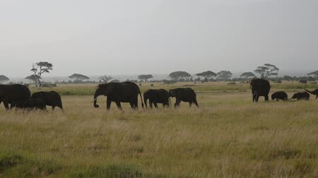 akacja : Big Herd Wild Elephants With Baby Eating Grass On Plain In African Savannah Wideo