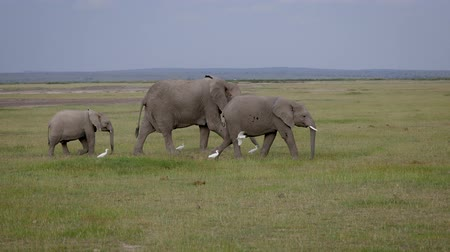 white elephant : Family Of Wild African Elephants Walking To Each Other Across Plain In Savannah