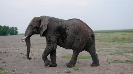 poros : Close Up Of A Big African Elephant Walking On The Ground In The Savannah