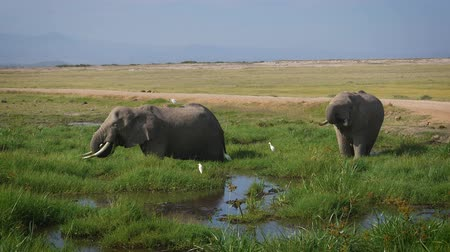 саванна : Wild African Big Elephants Grazing Grass Standing In The Swamp In Savannah Стоковые видеозаписи