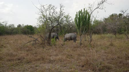 white rhino : Endangered Adult African Wild White Rhinos Grazing By The Bushes In The Reserve