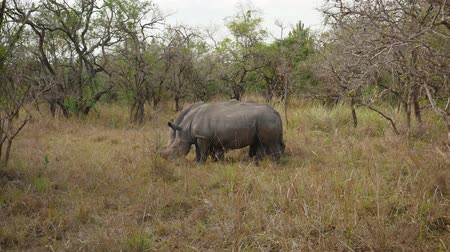 white rhino : Endangered Wild Adult African Wild Rhinos Grazing By The Bushes In Reservation