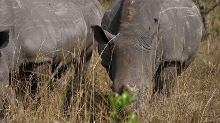 white rhino : Close Up Of African White Rhinos Grazing The Dry Grass In The Savannah Stock Footage