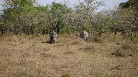 white rhino : Wild African White Rhinos Graze Grass In The Bushes Of The Savannah Stock Footage