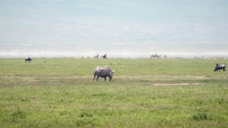 white rhino : Wild African White Rhino Grazes On The Plains The Savannah Among Other Animals Stock Footage