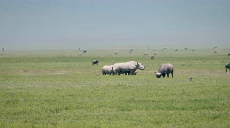 rinoceronte : Wild African White Rhinos Buffalos Zebras Ostriches Graze On Plains Of Savannah Stock Footage