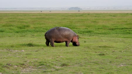 hippo : Wild African Hippopotamus Grazing With Fresh Green Grass On African Reservation