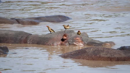 víziló : Close Up Of Hippopotamus Head Above The Water Of River Where Birds Eat Parasites