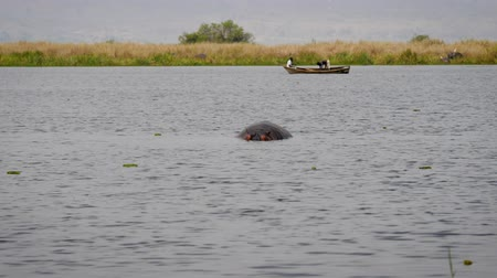 víziló : Hippo Swims In An African River In Background Floating Boat With Fishermen