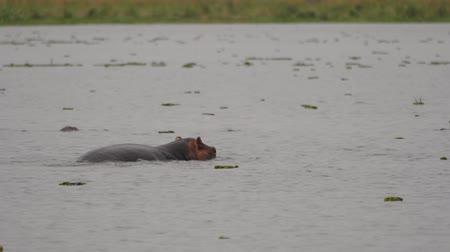 hippo : Young Wild Hippos Playing In The Pond Of African Stock Footage