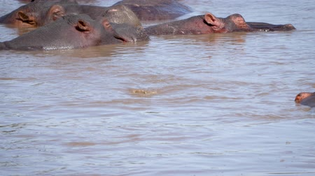 câmara : Wild Young Hippopotamus Come Up From The Water Funny Shakes His Ears And Dives Stock Footage