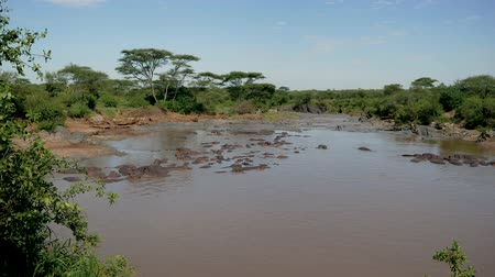 mud bath : Panorama Rookery Herd Of Wild Hippos In The African Mara River With Brown Water