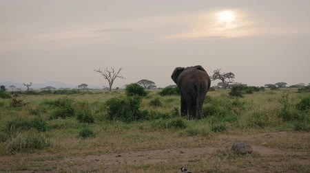 savana : African Elephant Goes Away On The Background Of Acacias And Bushes In Savannah