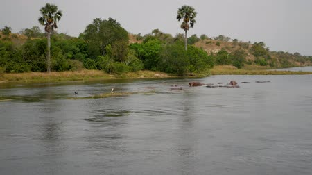 câmara : Aerial View Of Wild African Hippos Rest And Sleep In River Near Tropical Coast