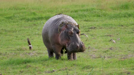 окропляет : African Adult Hippopotamus In The Wild In The Pasture Defecates Under Pressure Стоковые видеозаписи