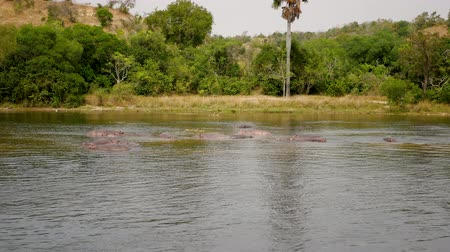 hippo : Aerial View Of Wild African Hippopotamus In The River Near The Shore With Bushes