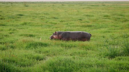 hippos : African Hippo Grazing The Juicy Green Grass In Swampy Pasture Knee Deep In Mud