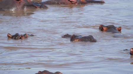 prenotazione : Funny Baby Hippos Play In The Water Of The Pond Diving And Biting