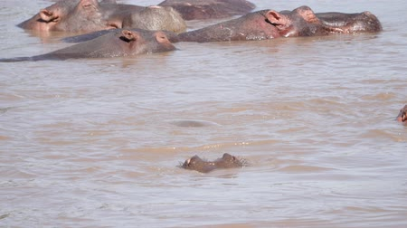 hippos : Funny Baby Hippos Play In Water Of River Pool Diving And Biting In The Manger Stock Footage