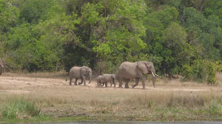 закалки : Herd Of Wild African Elephants Walking To River Beach To Drink On A Hot Day