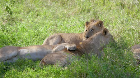 câmara : African Lions Lie And Rest In The Shade Of An Acacia Tree Escaping From The Heat Stock Footage