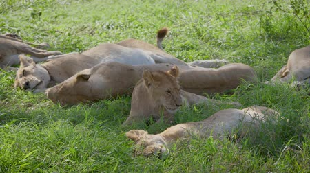 akacja : Wild African Lionesses Sleep In The Shade Of An Acacia Tree After Hunting