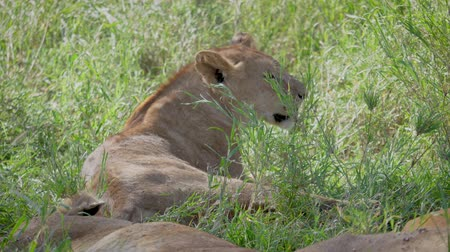 Серенгети : Close Up Of Wild African Lionesses Resting In The Shade Of A Tree In The Heat
