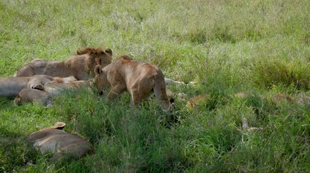 Серенгети : In Pride Lioness Looking For Place To Sleep Under Shade Of Bush In Savannah