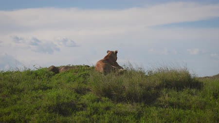 câmara : Wild Lioness Lies On A Hill And Looks Out For Prey And The African Savannah