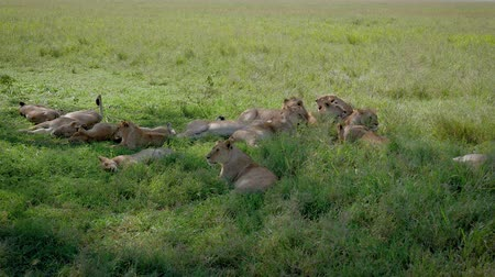 câmara : African Wild Lions Lie And Rest In The Shade Of Bushes Escaping From The Heat