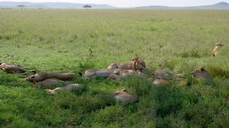 akacja : Pride Of African Wild Lions Lying And Resting In Shade Of Bushes To Escape Heat