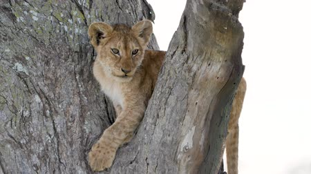 akacja : Portrait Of Cute Little Lion Cub On A Tree Branch In The Wild Of Africa Closeup Wideo