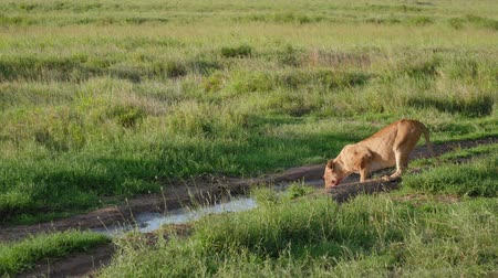 crouch : African Lioness With A Bloody Face Bends To Drink Water From Puddles In The Wild