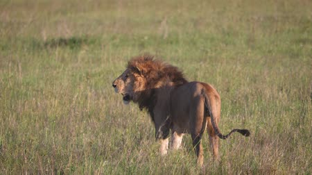 gato selvagem : Adult African Lion With A Beautiful Mane In The Savannah Wildlife