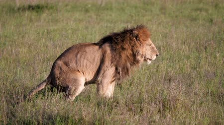 câmara : Adult Lion Defecates In African Savanna Wildlife Side View Stock Footage