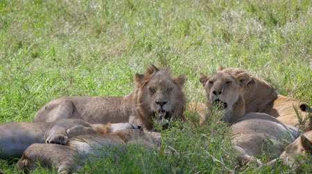 yele : Lion With Lioness Caress Lying Under The Shade Of Trees In The African Savannah Stok Video