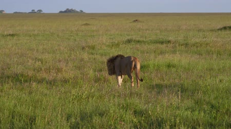 juba : Adult Lion With A Mane Walk Into Distance On Plain In The African Savannah