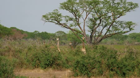 namibya : Wild African Giraffes Hide And Graze In Thickets Of Thorns Among Acacia Trees