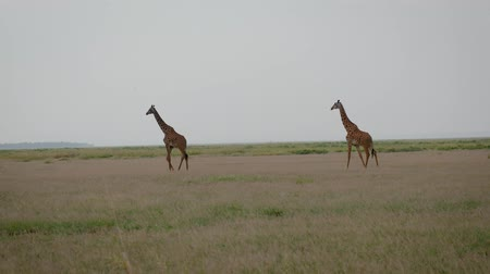 câmara : Wild African Giraffes Walking On The Grassland Plain In The Savannah
