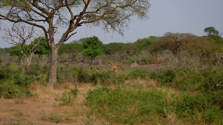 akacja : Wild African Giraffes Graze In Thickets Of Thorns Among Acacia Trees Wideo